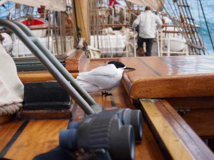 A tern sits momentarily on the ship